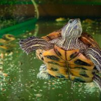 Красноухая черепаха :: Павел Ящук