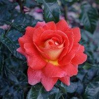 Летняя роза :: Александр Черевань