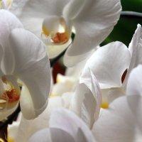 орхидеи :: Olga