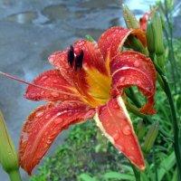 Лилия после дождя . :: Мила Бовкун