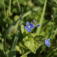 Голубые цветы :: Анастасия Сапронова