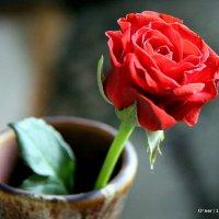 цветочные истории-роза алая :: Олег Лукьянов