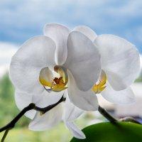 Орхидея :: Виктор Желенговский