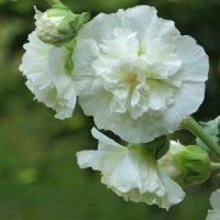Среди роз в саду цвела... :: Татьяна Смоляниченко