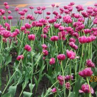 Питерские тюльпаны :: татьяна