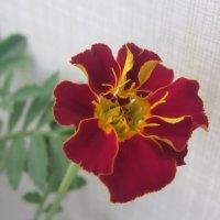 Любимый цветок из детства :: татьяна