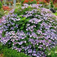 Гортензия Саржента в саду роз :: Nina Yudicheva