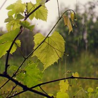 Дождь :: Vladimir Smirnov
