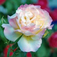 Роза :: Vladimir Lisunov