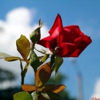 Пламенеет роза красная.. :: Андрей Заломленков