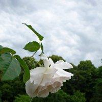 В Ботаническом саду Аугсбурга время цветения роз!!! :: Galina Dzubina