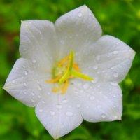 Просто цветок. :: Ольга Анх