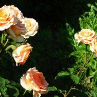 Июньское утро в розах... :: Тамара (st.tamara)