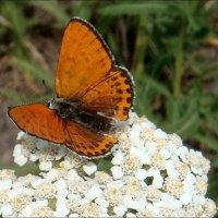 Миниатюрная бабочка :: Нина Корешкова