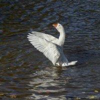 Вздох глубокий, крылья шире ... :: Valeriy Piterskiy