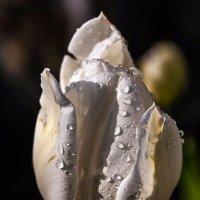 Белый тюльпан :: Светлана Щербакова