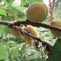 Абрикосова смола и плоды :: Сергей Гвоздев