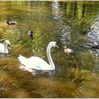 Лебеди и уточки :: Natali