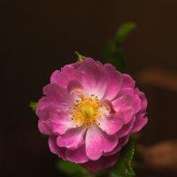 Цветок шиповника :: Виталий