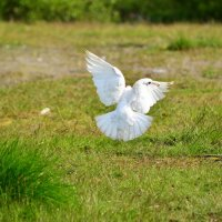 Белая голубка. :: Tatyana Nemchinova