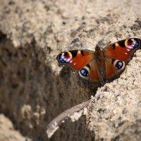 Бабочка на песке :: Ирина Приходько