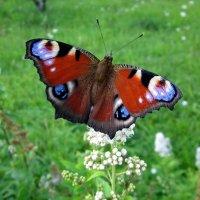 Бабочка Павлиний глаз :: OLLES