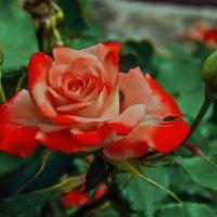 Царица цветов :: MPS