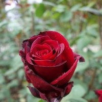 Дыханье божественных уст - и роза возникла, дохнула, раскрылась, прозрела, сладчайший кругом аромат :: Galina Dzubina