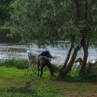 Играющие лошади :: Сергей Цветков