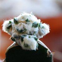 Пушистая морда кактуса :: Александр Деревяшкин