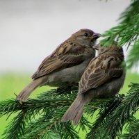 Птички на ветке :: OLLES