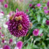 Пчёлы на цветке :: Nina Yudicheva