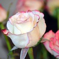 Белые розы надежды :: Tatyana Nemchinova
