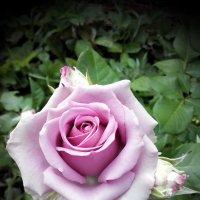 Роза :: Павел В.