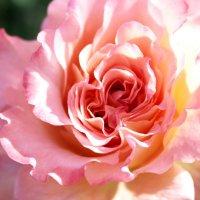 Роза :: Ольга Анх