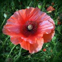 Про цветы. :: Мила Бовкун