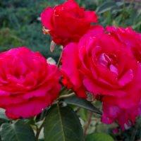 Июль,вечер,розы... :: Тамара (st.tamara)