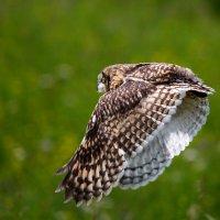 Поймал сову в объектив. :: Алексей Поляков