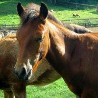 Сибирские лошадки :: Любовь Иванова