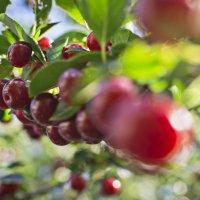Ветка вишни :: Анастасия Мойсук