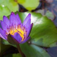 Водяная лилия.Вьетнам. :: Татьяна Калинкина