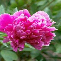 Аленький цветочек :: Сергей Михайлов