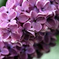 аромат сирени... :: Olga