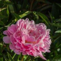 Розовый пион :: Андрей Нибылица