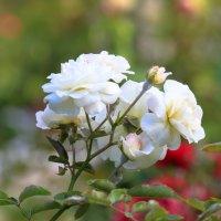 White rose :: Денис Маншилин