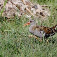 Восточный или водяной пастушок-очень скрытная птица :: Анна