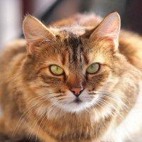 Солнечный кот :: Николай Нетребенко