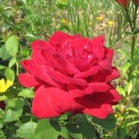 роза :: Наталья Кочетова