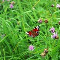 Бабочка :: Андрей Батранин