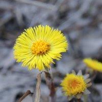 Цветок-солнце. :: Герман